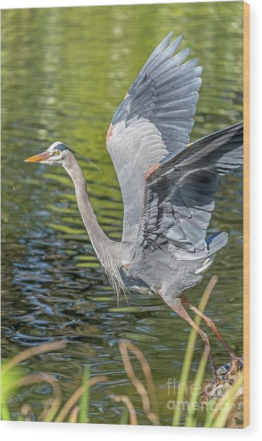Wood Print featuring the photograph Heron Liftoff by Kate Brown