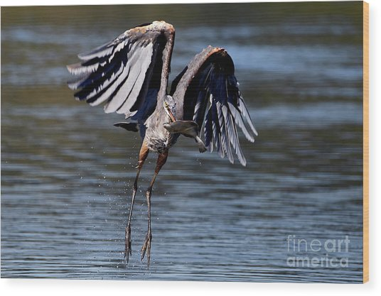 Great Blue Heron In Flight With Fish Wood Print