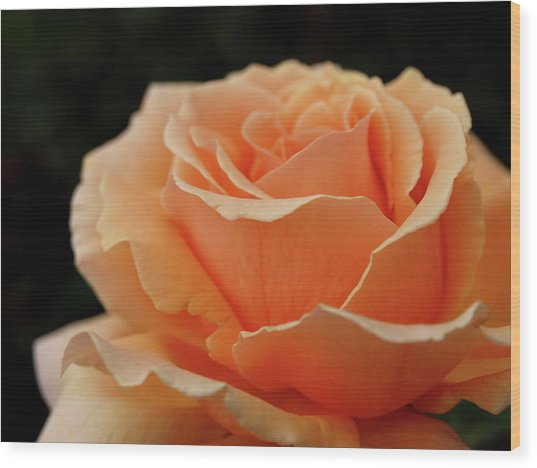 Hever Castle Peach Rose Wood Print