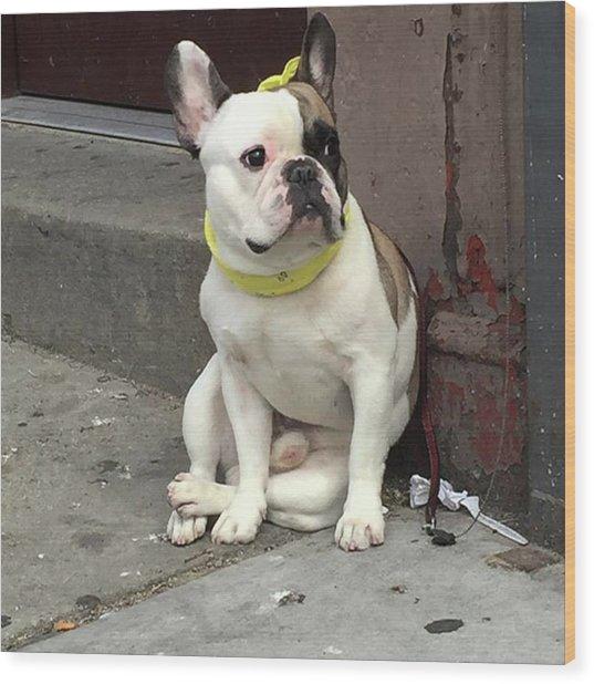 Hey, #bulldog! #harlem #nycdogs #nyclife Wood Print by Gina Callaghan