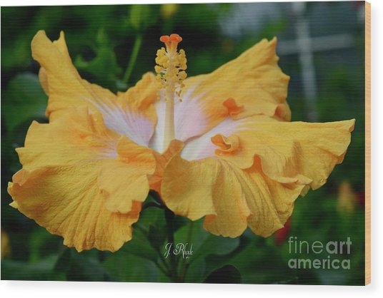 Hibiscus Golden Mist Wood Print