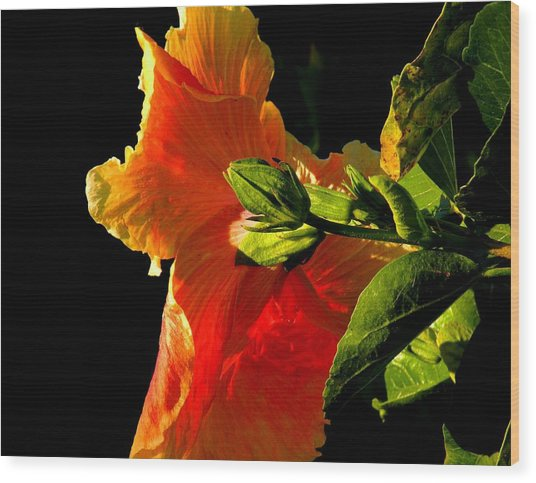 Hibiscus In The Light Wood Print by Rosalie Scanlon