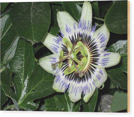 Hidden Beauty Wood Print