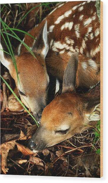 Hiding Twin Whitetail Fawns Wood Print