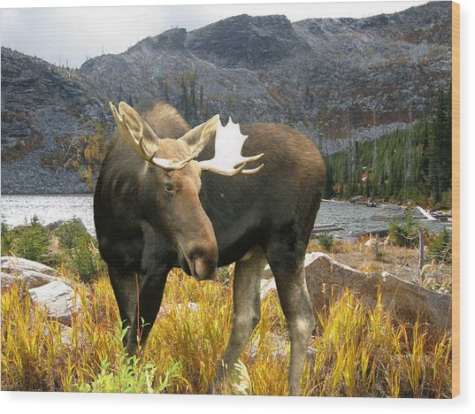 High Country Moose Wood Print by Robert Bissett