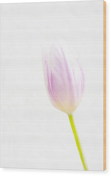 High Key Tulip Wood Print