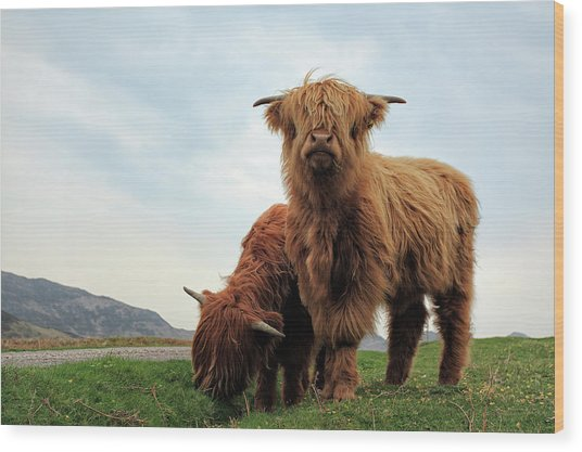 Highland Cow Calves Wood Print