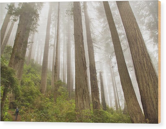 Hike Through The Redwoods Wood Print