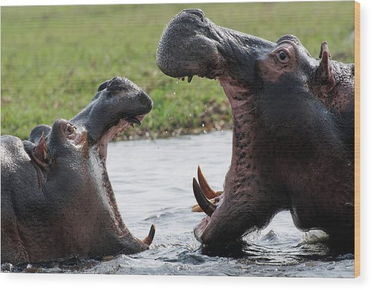 Hippos Fighting Wood Print