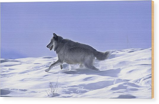 His Majesty Druid Wolf 21m Wood Print