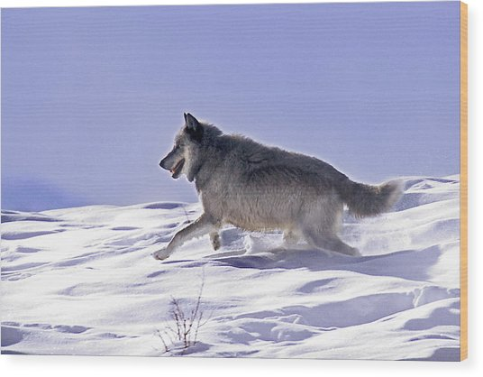 His Majesty Wolf 21m Wood Print