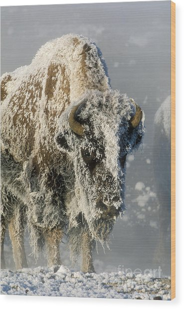 Hoarfrosted Bison In Yellowstone Wood Print