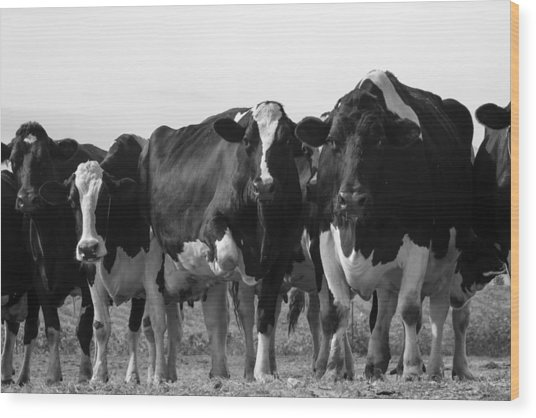 Curious Holsteins Wood Print