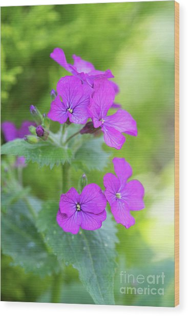 Honesty Flowers Wood Print