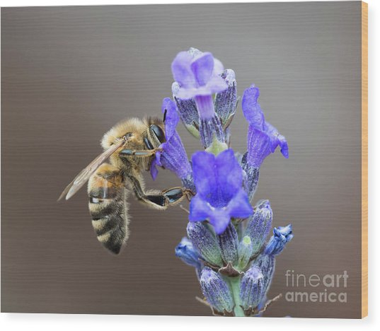 Honey Bee - Apis Mellifera - Feeding On Lavender Wood Print