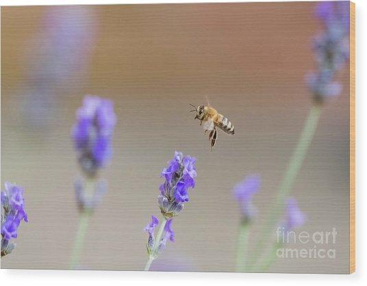 Honey Bee - Apis Mellifera - Flying Through Lavender In Flower Wood Print
