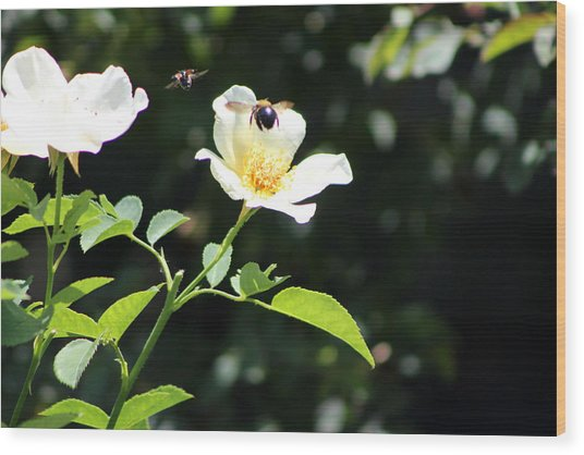 Honey Bees In Flight Over White Rose Wood Print