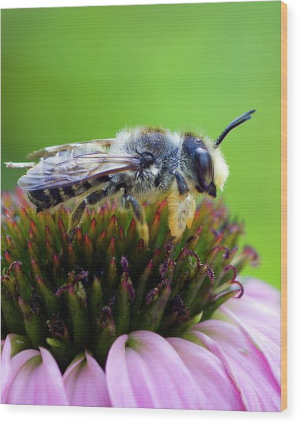 Honeybee In Coneflower Wood Print
