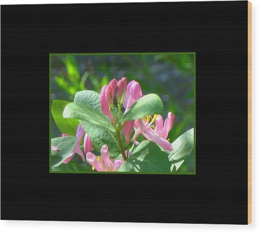 Honeysuckle Pink Photograph Wood Print by Gretchen Wrede