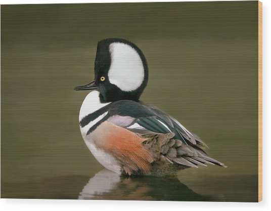 Hooded Merganser Wood Print