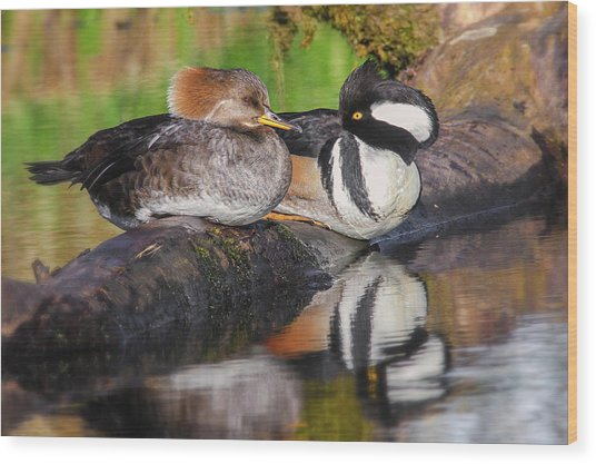 Hooded Merganser Pair Wood Print