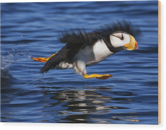 Horned Puffin  Fratercula Corniculata Wood Print