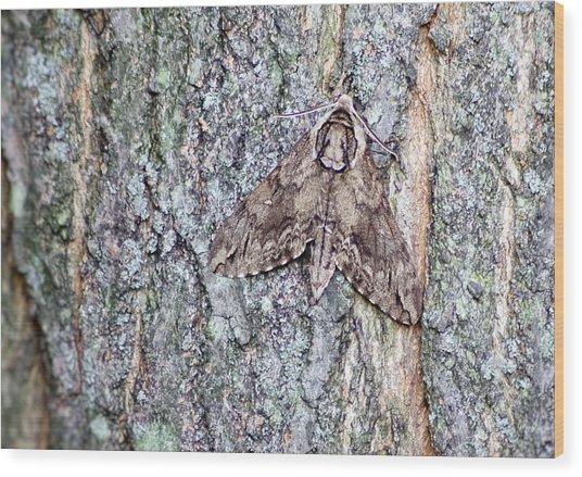 Hornworm Moth II Wood Print