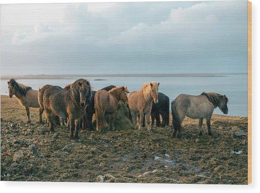 Horses In Iceland Wood Print
