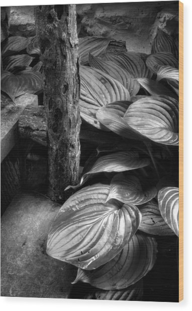 Hosta And Steps In Black And White Wood Print