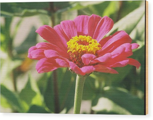 Hot Pink Flower In Frankemuth Michigan Wood Print by Cheryl Martin