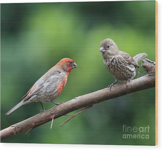 House Finch Courtship Wood Print by Wingsdomain Art and Photography