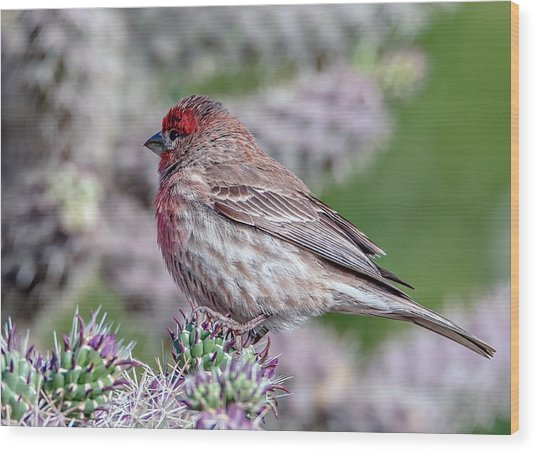 House Finch Male Wood Print