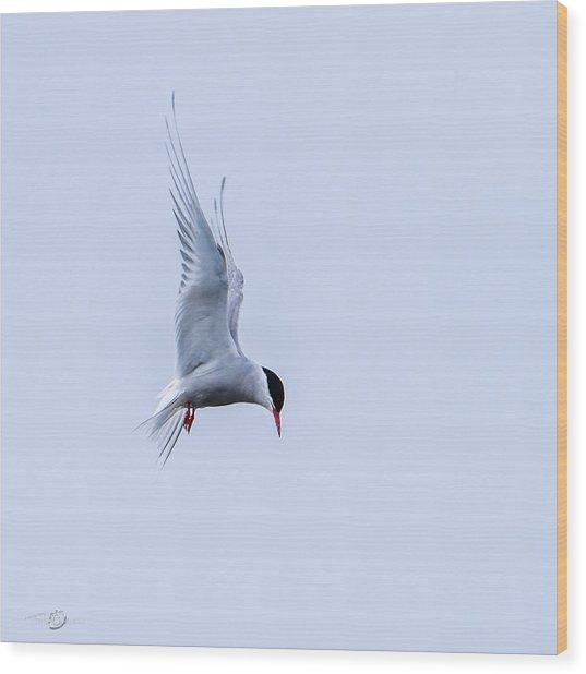 Hovering Arctic Tern Wood Print
