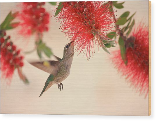 Hovering Hummingbird Wood Print