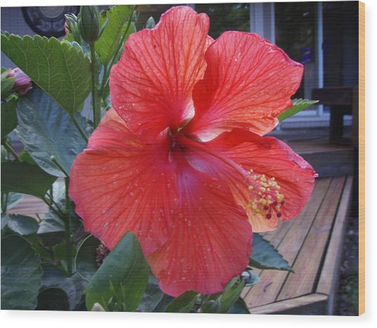 Huge Hibiscus  Wood Print