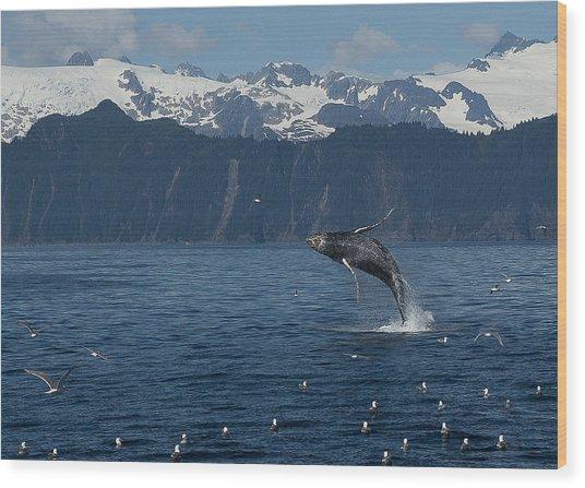 Humback Whale Arching Breach Wood Print