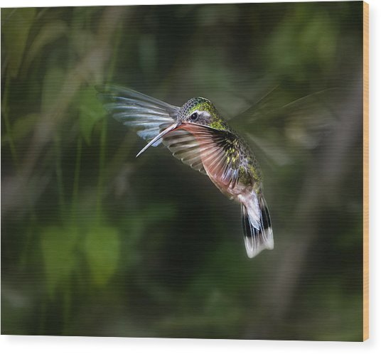 Hummingbird 1b Wood Print