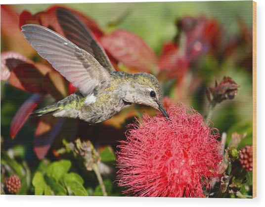 Hummingbird And Red Flower Wood Print