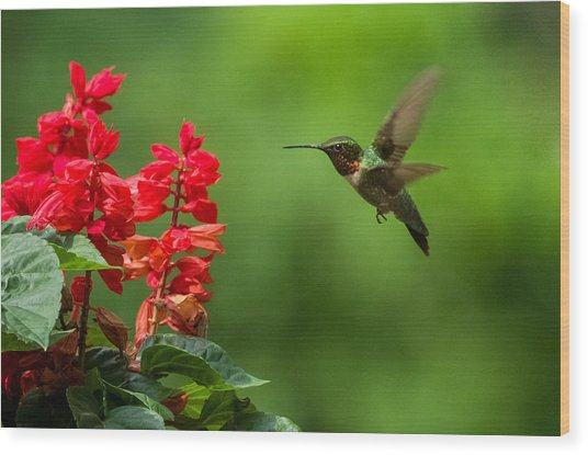 Hummingbird And Scarlet Sage Wood Print