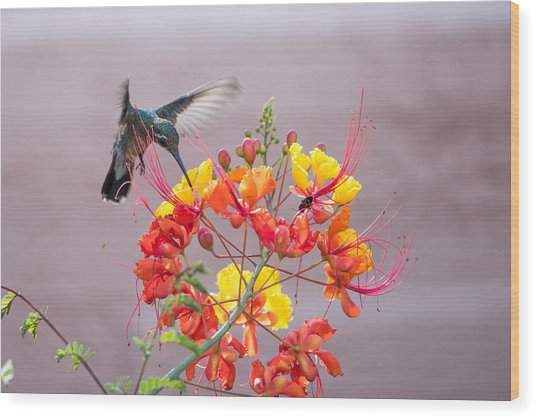 Hummingbird At Work Wood Print