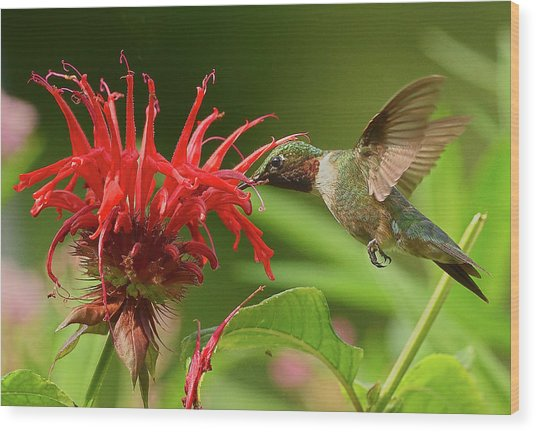 Hummingbird Delight Wood Print