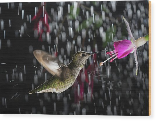 Hummingbird Hovering In Rain With Splash Wood Print