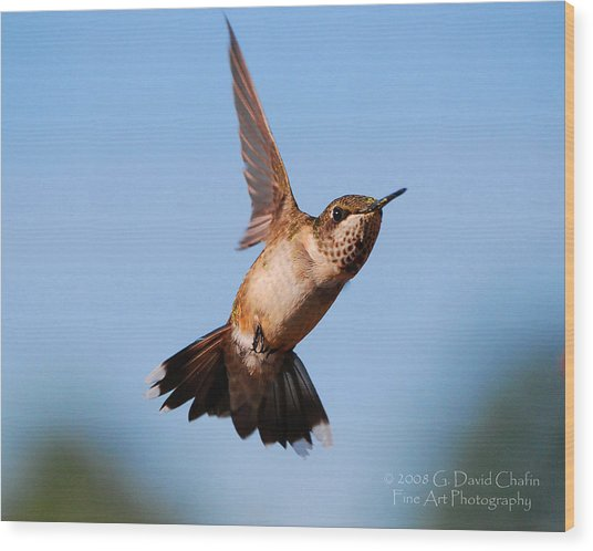 Hummingbird In Flight Wood Print by Dave Chafin