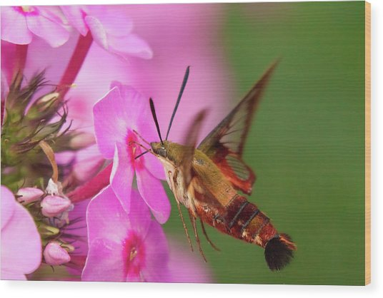 Hummingbird Moth Feeding 1 Wood Print
