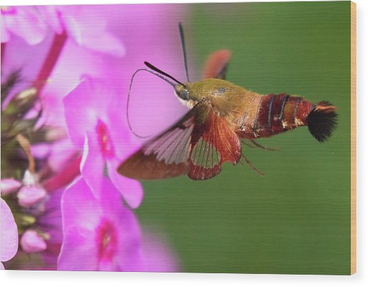 Hummingbird Moth Feeding 2 Wood Print