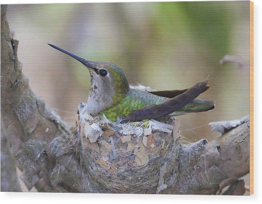 Hummingbird On Nest Wood Print