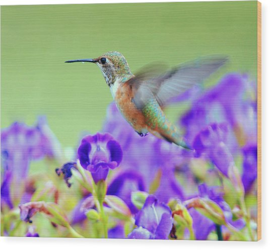 Hummingbird Visiting Violets Wood Print by Laura Mountainspring