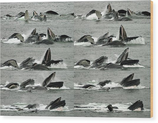 Humpback Whale Bubble-net Feeding Sequence X10 Wood Print