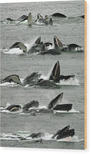 Humpback Whale Bubble-net Feeding Sequence X5 V1 Wood Print