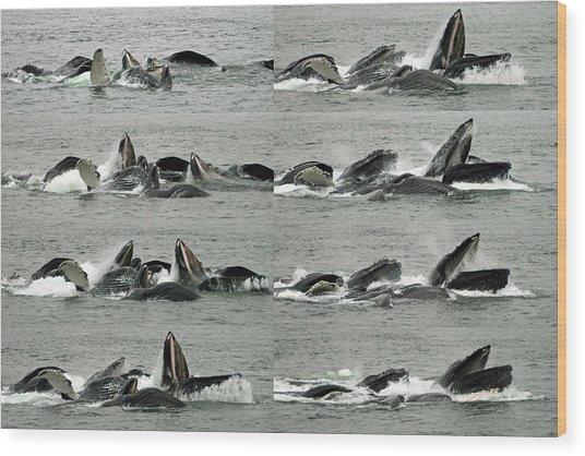 Humpback Whale Bubble-net Feeding Sequence X8 Wood Print